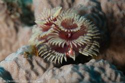 BD-120424-Marsa-Alam-6420-Spirobranchus-giganteus.-Pallas-1766-[Christmas-tree-worm].jpg